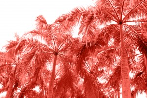 Palm tropical trees from bottom view to pure sky. Coral color of the year 2019.